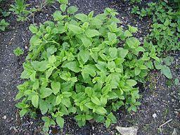 Mint balm or lemon balm medicinal herb