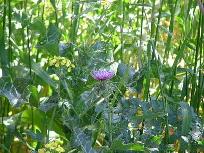 Milk Thistle: By SuperJew (Own work) [CC-BY-SA-3.0 (http://creativecommons.org/licenses/by-sa/3.0)], via Wikimedia Commons