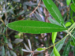 Olive leaf: By H. Zell (Own work) [GFDL (http://www.gnu.org/copyleft/fdl.html) or CC-BY-SA-3.0 (http://creativecommons.org/licenses/by-sa/3.0)], via Wikimedia Commons