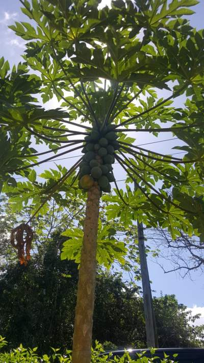 The papaya leaves have antimalarial and antiplasmodial properties.