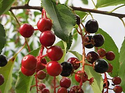 Wild black cherry juice is an excellent alternative remedy for arthritis and other joint related problems.