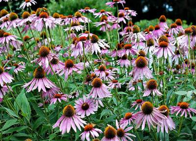 Echinacea is a very good medicinal herb to fight diseases.