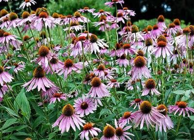 Purple_Coneflower_Echinacea_purpurea