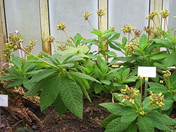 Search me heart medicinal herb: By Daderot (Own work) [Public domain], via Wikimedia Commons