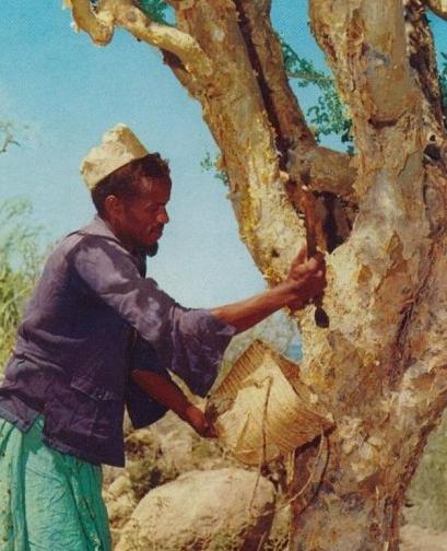 Myrrh tree: By Somalia Ministry of Information and National Guidance (Beautiful Somalia) [CC-BY-SA-2.0 (http://creativecommons.org/licenses/by-sa/2.0)], via Wikimedia Commons. Somali man collecting incense