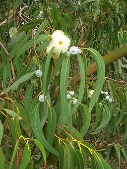 commons.wikimedia.org/wiki/File%3AStarr_051123-5467_Eucalyptus_globulus.jpg
