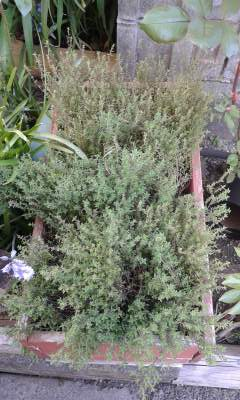 Thyme is a part of the aromatic herbs.