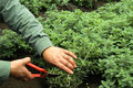 thyme medicinal her