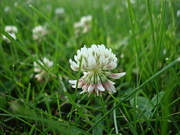 White clover medicinal herb