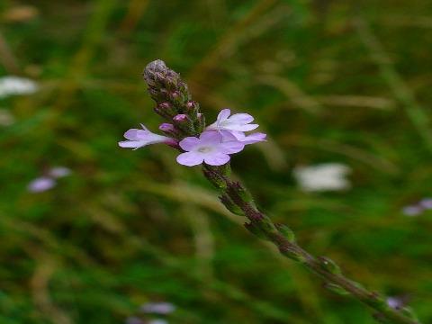 Verbena_officinalis_002. (vervain medicinal herb)