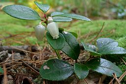Wintergreen Medicinal Herb: By Jason Hollinger (Wintergreen  Uploaded by Amada44) [CC-BY-2.0 (http://creativecommons.org/licenses/by/2.0)], via Wikimedia Commons
