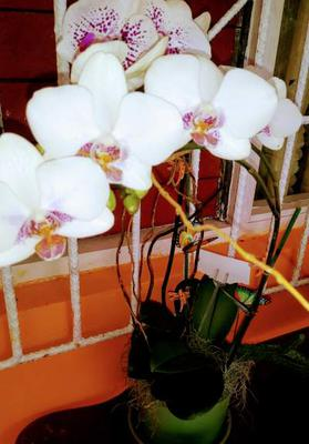 Beautiful Orchid taken in Jamaica by owner of Medicinalherbs-4u.com