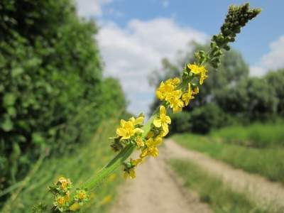 Agrimony, alternative herbal medicine