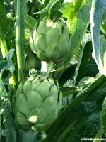 artichoke medicinal herb