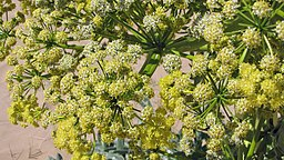 Asafoetida medicinal herb is a good remedy for asthma as well as other respiratory conditions.