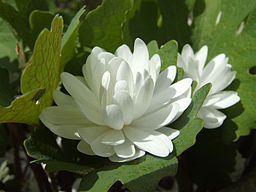 Bloodroot medicinal herb: By Simon Garbutt. SiGarb 20:35, 4 December 2006 (UTC) [Public domain], via Wikimedia Commons