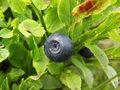 blueberry, medicinal herb