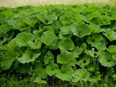 burdock medicinal herb for fibroid