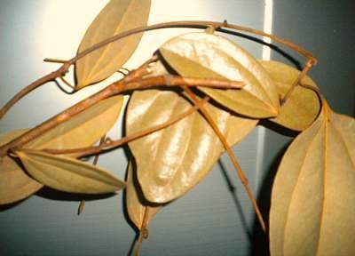 My dried cinnamon leaves taken at home