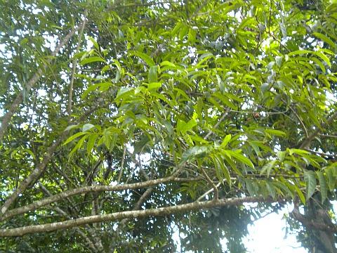 custard apple leaves