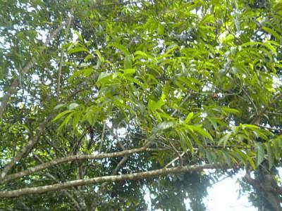 Custard Apple Tree taken in Jamaica