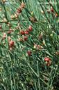ephedra medicinal herb