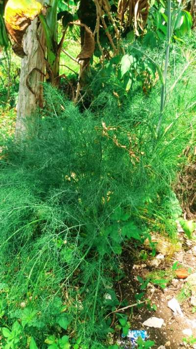 Medicinal herb, Fennel is a very good remedy to treat gas