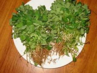 fenugreek medicinal herb