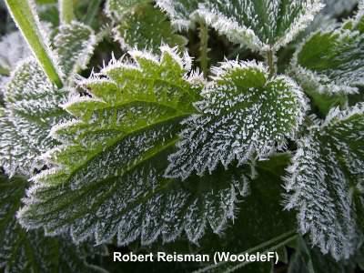 Nettle medicinal herb