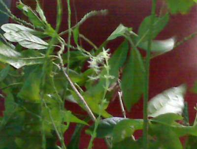 Guinea hen weed taken at home