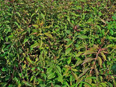 Gypsywort Medicinal Herb | Hyperthyroidism Remedy