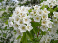 hawthorn medicinal herb