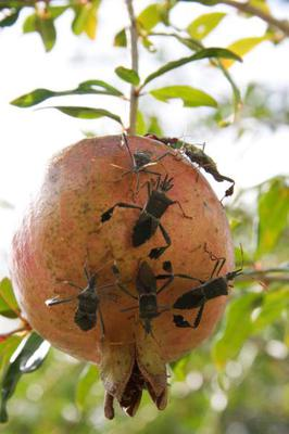 Insects on Pomegranate Fruit