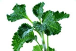 Horehound medicinal herb