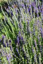 hyssop medicinal herb