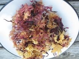 Irish moss medicinal herb in a plate
