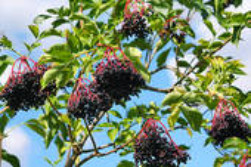 elderberry medicinal herb