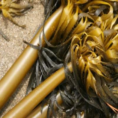 Kelp medicinal herb, sea plant