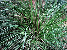Vetiver is indigenous to India and in that country it is referred to as khus.