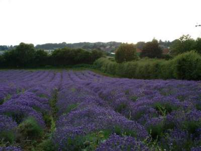 crop of lavender, medicinal herb