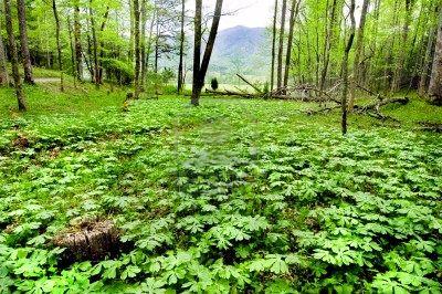 Mandrake medicinal herb