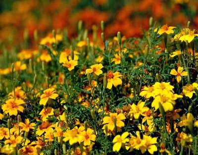 Marigold medicinal herb