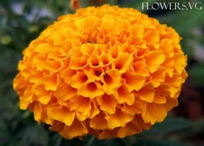 Bright orange marigold