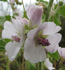 Marshmallow medicinal herb: By Phil Sellens from East Sussex [CC-BY-2.0 (http://creativecommons.org/licenses/by/2.0)], via Wikimedia Commons