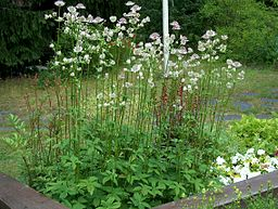Masterwort herb (Astrantia major): By Anneli Salo (Own work) [CC-BY-SA-3.0 (http://creativecommons.org/licenses/by-sa/3.0)], via Wikimedia Commons