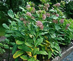 Milkweed medicinal herb