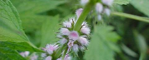 Motherwort medicinal herb