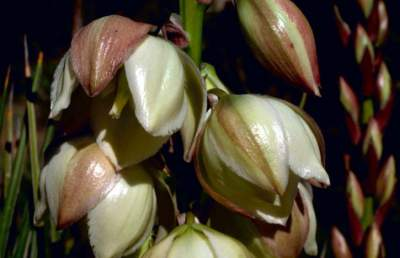 Yucca Medicinal herb