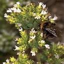 oregano medicinal herb
