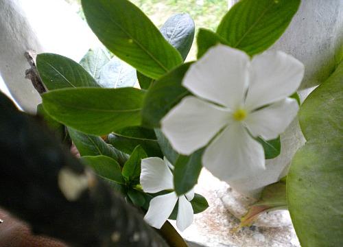 Periwinkle medicinal herb taken at my home in Jamaica.